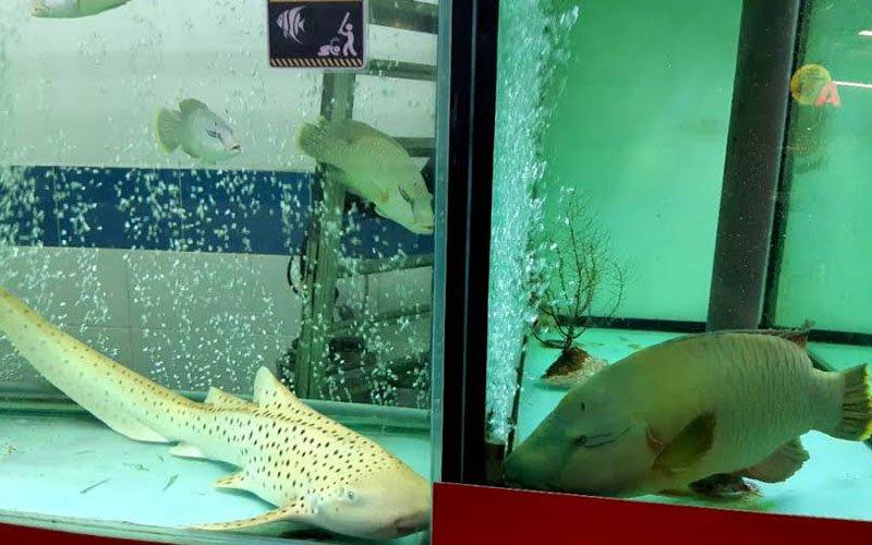 ebra-shark-and-Napoleon-wrasse.jpg